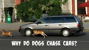 Why Do Dogs Chase Cars? | SlimDoggy